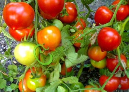 Семена томатов Гибрид-2 Тарасенко - высокорослый, до 100 г, огромные кисти, круглый, с носиком. Семенаград - семена почтой