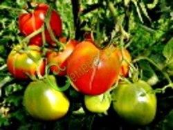 Семена томатов Гибрид-3 Тарасенко - 1 уп.-20 семян - высокорослый, овальный, до 150 г, урожайный. Семенаград - семена почтой