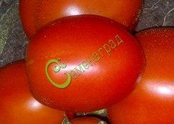 Семена томатов Гибрид-43 Тарасенко - 1 уп.-20 семян - высокорослый, до 100 г, овальный, урожайный. Семенаград - семена почтой