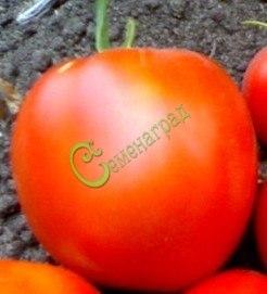 Семена томатов Гигант Дружба - 1 уп.-20 семян - высокорослый, до 300 г, цилиндрический, очень урожайный, красавец. Семенаград - семена почтой