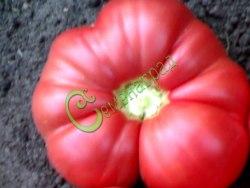 Семена томатов Гигант медовый - 1 уп.-20 семян - высокорослый, розовый, до 500 г. Семенаград - семена почтой