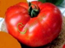 Семена томатов Гигант-2 Новикова - 1 уп.-20 семян - высокорослый, до 400 г, очень хорош и надёжен. Семенаград - семена почтой