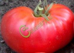 Семена томатов Гигант-32 Новикова - 1 уп.-20 семян - высокорослый, малиновый, 400 г, урожайный. Семенаград - семена почтой