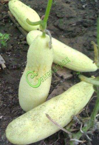 Семена огурцов Белоснежка - 10 семян - необычного белого цвета, устойчивый, урожайный