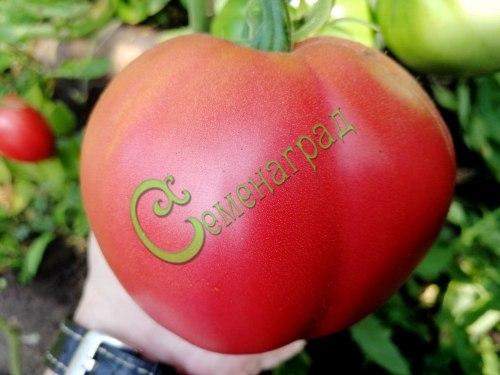 Семена томатов Дагестанские - 20 семян - высокорослый, до 300 г, розовый, сердцевидный