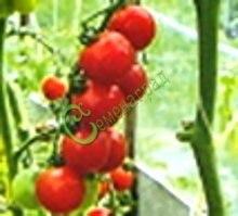Семена томатов Дачная скороспелка - 20 семян - высокорослый, до 100 г, ранний, обильный