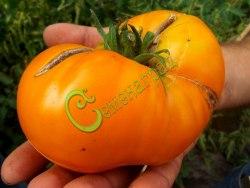 Семена томатов Двойной оранжевый Келлога - 1 уп.-20 семян, выведен во Франции - среднерослый, оранжевый, сладкий, до 400 г. Семенаград - семена почтой