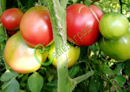 Семена томатов Де борао розовый, 1 уп.-20 семян - высокорослый, до 100 г, урожайный, популярный. Семенаград - семена почтой