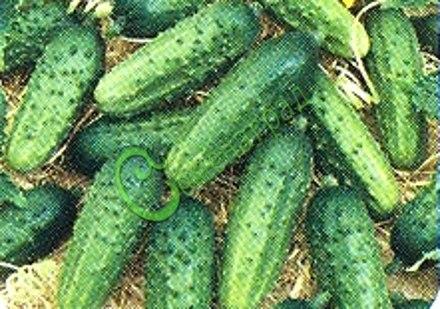 Семена огурцов Бойскаут плюс - 1 уп.-10 семян - большое количество некрупных огурчиков, предназначенных для консервирования. Семенаград - семена почтой