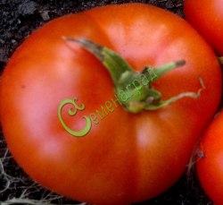 Семена томатов Делишес - 1 уп.-20 семян, выведен в США - высокорослый, до 700 г, один из очень известных крупноплодных сортов. Семенаград - семена почтой