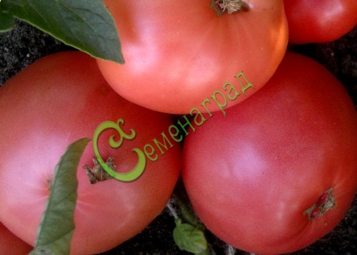 Семена томатов Дикая роза - высокорослый, до 500 г, розовый, очень урожайный. Семенаград - семена почтой
