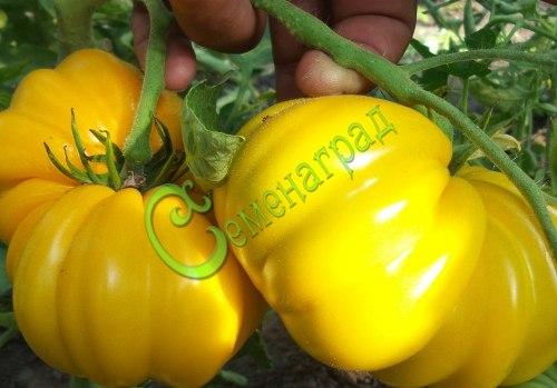 Семена почтой томат Жёлтая красавица - 20 семян - высокорослый, до 500 г, круглоплоский, ребристый