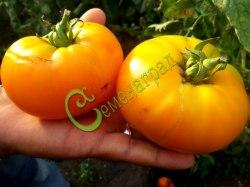 Семена томатов Завтрак Келлога - 1 уп.-20 семян, выведен во Франции - среднерослый, 250 г, круглоплоский, оранжевый, сладкий. Семенаград - семена почтой
