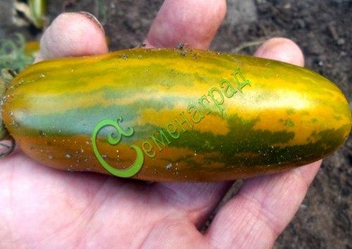 Семена томатов Зелёная сосиска - 1 уп.-20 семян - как сосиска, среднерослый, 100 г, зелёный, в жёлтую полоску. Семенаград - семена почтой