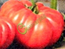 Семена томатов Император - 20 семян - высокорослый, розовый, до 700 г, круглоплоский