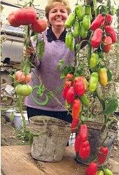 Семена томатов Итальянские - 1 уп.-20 семян - высокорослый, как сосульки, до 150 г, урожайность в немыслимых пределах. Семенаград - семена почтой