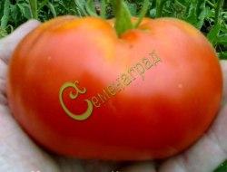 Семена томатов Канадский великан - 1 уп.-20 семян - высокорослый, до 800 г, малосемянный, великолепный. Семенаград - семена почтой
