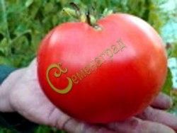 Семена томатов Кардинал - 1 уп.-20 семян - высокорослый, до 500 г, малосемянный, сердцевидный. Семенаград - семена почтой