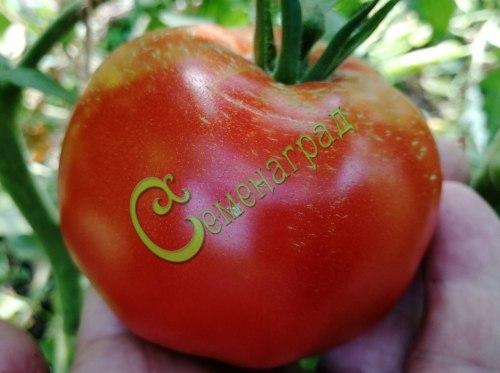 Семена томатов Киевские - 1 уп.-20 семян - высокорослый, до 1 кг, картина в памяти. Семенаград - семена почтой
