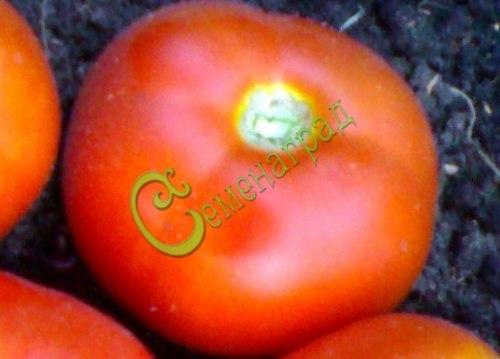 Семена томатов Клеопатра, 1 уп.-20 семян - высокорослый, до 300 г, урожайный, очень удачный сорт. Семенаград - семена почтой
