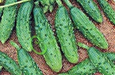 Семена огурцов Изящные - 10 семян - некрупные огурчики во множестве, проверен годами