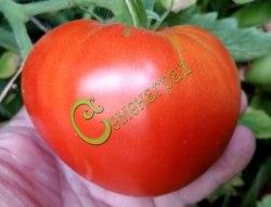 Семена томатов Корнеевский - 1 уп.-20 семян - высокорослый, до 500 г, очень популярный из крупноплодных, сердцевидный. Семенаград - семена почтой