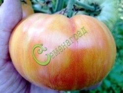 Семена томатов Король красоты - 1 уп.-20 семян - высокорослый, до 800 г, кругло-плоский, желтоватый, с розовым полосатым румянцем. Семенаград - семена почтой