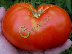 Семена томатов Космонавт Волков - 1 уп.-20 семян - высокорослый, до 1 кг, знаменитый крупноплодный сорт, в рекомендациях не нуждается. Семенаград - семена почтой