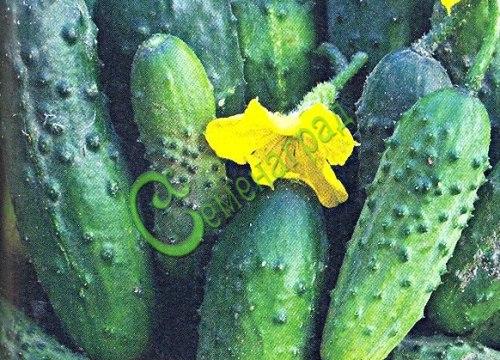 Семена огурцов Кустовой - 1 уп.-10 семян - известный, салатно-засолочный сорт. Семенаград - семена почтой