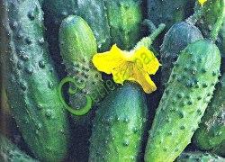 Семена огурцов Кустовой - известный, салатно-засолочный сорт. Семенаград - семена почтой