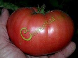 Семена томатов Кримсон - 1 уп.-20 семян - высокорослый, розовый, 700 г, круглоплоский, салатный. Семенаград - семена почтой