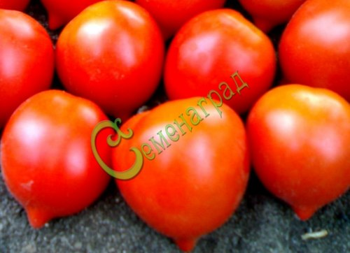 Семена томатов Крон принц - 1 уп.-20 семян - высокорослый, до 100 г, овальный, красный с кончиком, со сложными кистями, урожайный и эффектный. Семенаград - семена почтой