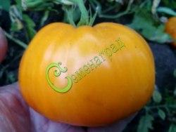 Семена томатов Кубанский янтарь - 1 уп.-20 семян - высокорослый, оранжевый, до 300 г, сладкий. Семенаград - семена почтой