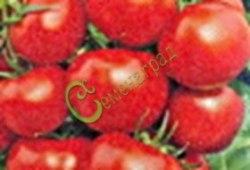 Семена томатов Ласточка плюс - 1 уп.-20 семян - высокорослый 2-3 м, до 150 г, устойчивый, очень холодостойкий, урожайный. Семенаград - семена почтой