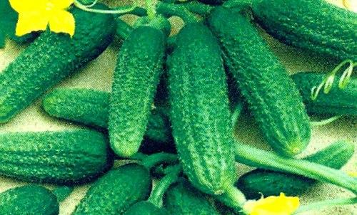 Семена огурцов Либелла - 10 семян, в рекомендациях не нуждается, один из лучших грунтовых сортов 20 века