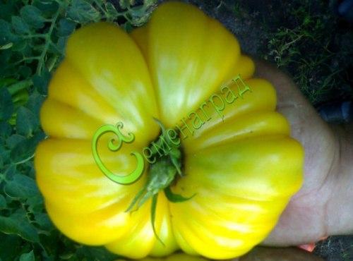 Семена томатов Лотарингская красавица жёлтая - высокорослый, очень крупный, жёлтый, гофрированный, малосемянный . Семенаград - семена почтой