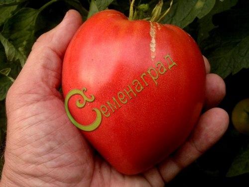 Семена томатов Малиновый звон 20 семян - высокорослый, до 500 г, сердцевидный