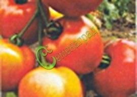 Семена томатов Мани Мейкер - 1 уп.-20 семян - среднерослый, до 150 г, ранний, очень популярный в конце 20 века. Семенаград - семена почтой