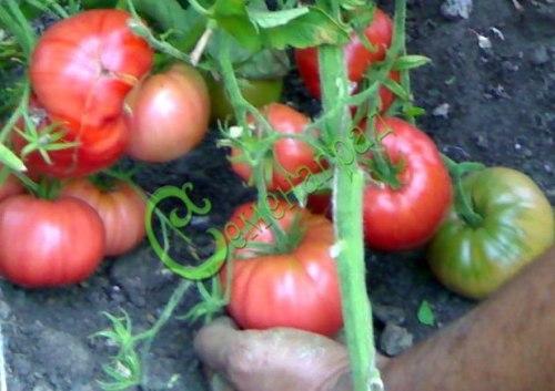 Семена томатов Мастер Гарден - среднерослый, ранний, до 500 г, круглоплоский, розовый, очень урожайный. Семенаград - семена почтой