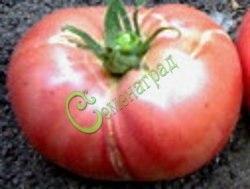 Семена томатов Медвежья лапа - 1 уп.-20 семян - высокорослый, малиновый, до 500 г. Семенаград - семена почтой