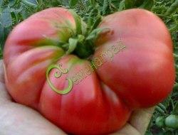 Семена томатов Мечта Тарасенко - 1 уп.-20 семян - высокорослый, до 1 кг, круглоплоский, розовый. Семенаград - семена почтой
