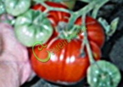 Семена томатов Московский деликатесный, 1 уп.-20 семян - высокорослый, до 800 г, очень хорош. Семенаград - семена почтой