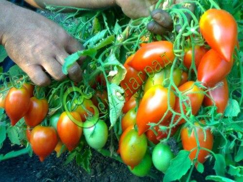 Семена томатов Надина - 20 семян - среднерослый, до 100 г, овальный, с носиком, огромные кисти, плотный, для засолки