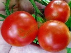Семена томатов Американский карлик, 1 уп.-20 семян - высокорослый, среднеранний, до 20 г, очень урожайный. Семенаград - семена почтой