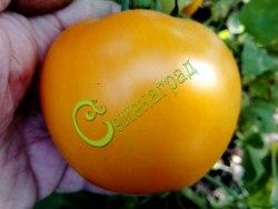 Семена томатов Оранжевый ранний - 1 уп.-20 семян - высокорослый, до 500 г, красавец. Семенаград - семена почтой