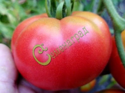 Семена томатов Оренбургские, 1 уп.-20 семян - высокорослый, до 300 г, урожайный, проверенный годами. Семенаград - семена почтой