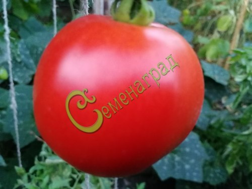 Семена томатов Орлеанская дева - 20 семян - до 200 г, низкорослый, ранний, лёжкий, транспортабельный
