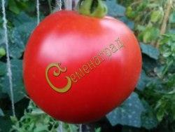 Семена томатов Орлеанская дева - 1 уп.-20 семян - до 200 г, низкорослый, ранний, лёжкий, транспортабельный. Семенаград - семена почтой