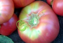 Семена томатов Ранняя любовь - 1 уп.-20 семян - высокорослый, до 300 г, розовый. Семенаград - семена почтой