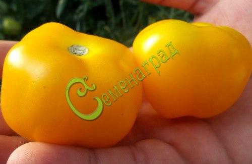 Семена томатов Ребристый жёлтый - 1 уп.-20 семян, выведен в Италии - среднерослый, сладкий, урожайный, 120 г. Семенаград - семена почтой